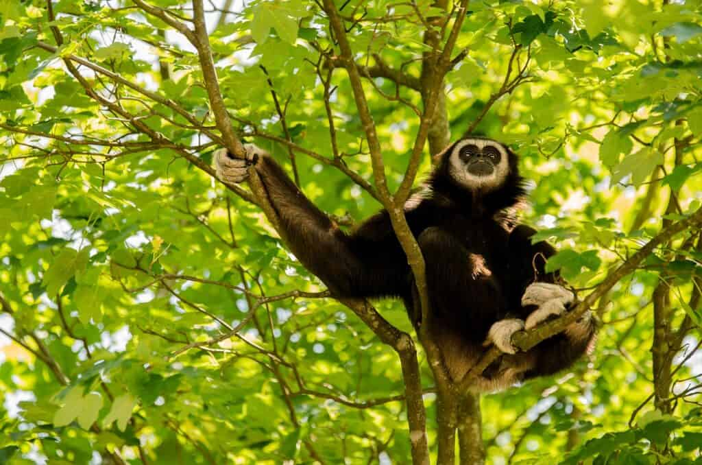 Black and White Gibbon sat in a tree